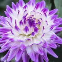 Rare Purple Beautiful Perennial Dahlia Flowers Seeds - 20 PCS (C#)