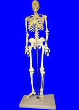 NEW Professional Human Skeleton Model, Half Nature Size(85cm),Medical Anatomical