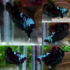 Green Black Mamba Halfmoon Plakat Male - IMPORT LIVE BETTA FISH FROM THAILAND