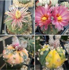 Astrophytum ASTERIAS  Semillas/seeds Mix 100