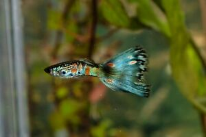 Fancy guppies ( multi delta and blue moscow mix) 25 fry