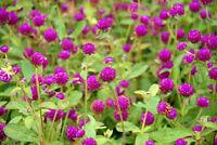 Garten Pflanzen Samen winterharte Zierpflanze Saatgut Kräuter KUGELAMARANT