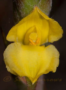 SEEDS 12 graines GUEULES DE GRENOUILLES (Philydrum Lanuginosum) FROG MOUTH