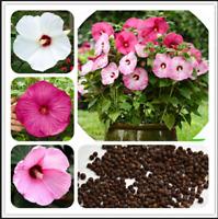 100 Pcs Seeds Hibiscus Moscheutos Bonsai Giant Flowers Perennial Plants 2020 NEW