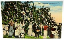 Vintage Early 1900's Postcard - Apple Picking Near Martinsburg, WV