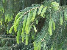 15 Semillas  Pícea de Afganistán - Picea Smithiana - Jardín árbol - Garden Samen