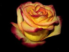 First Lady Yellow Rose Red Edge Rose Flower 80 SEEDS--BUY 4 ITEMS FREE SHIP