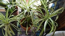 Spider Houseplant Organic & All Natural Plant Food