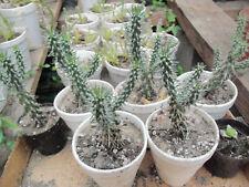 Cholla Cactus, live plant, cacti cactus garden desert landscape Cylindropuntia