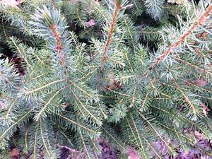 10 Stück Serbische Fichte Picea omorika Topf 20-40 cm Weihnachtsbaumjungpflanze