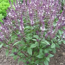 Erbe cannella aromi distinti 1200 sementi di basilico