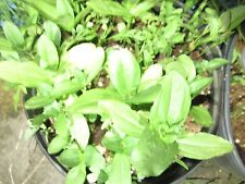 Herb / Vegetable plants with pretty flowers and sour taste for salad, other food