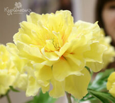 10PCs Seeds Geranium Custard Cream Bonsai Flowers Pelargonium Perennial Yellow