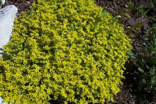 200 GOLDEN ACRE SEDUM STONECROP GOLD MOSS Flower Seeds