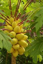 Golden Thai Dwarf Papaya -10 Seeds PERFECT FOR GROWING IN POTS