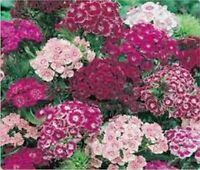 Dianthus- Sweet William Mix- 200 Seeds- BOGO 50% off SALE