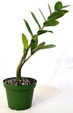 ZZ Plant - Zamioculcas Zamiifolia - 4'' Pot Gift Holiday Mature Hardy EverGreen