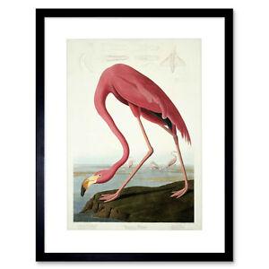 Audubon American Flamingo Zoology Framed Art Print Picture Mount 12x16 Inch