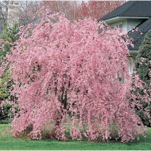 5 Weeping Pink Cherry Tree Seeds Flowering Japanse Ornimental Garden Shrub 107