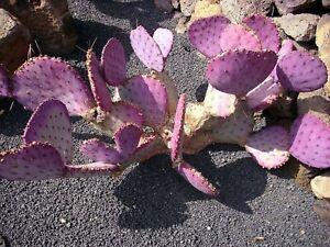 Opuntia Macrocentra * Mini Purple Prickly Pear Cactus * 5 Rare Seeds *