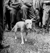 Willie English Bull Terrier Pet of US Army General Patton 5x5 Inch Reprint Photo