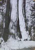 1915, Person in Crack of Giant Sequoia Tree, Magic Lantern Glass Photo Slide