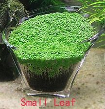 Aquarium Glossostigma Hemianthus Callitrichoides Seeds Water Grass Mini Leaf