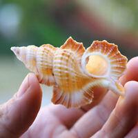 Natural Conch Shell Gyrineum Perca Sea Snail Fish Tank Decor Ornament Specimens