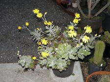 Senecio Medly-Woodii, rooted cutting, collectable, cactus, succulent, plant