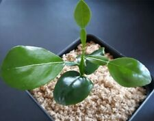 Healthy kaffir lime plant seedlings, 1-3 inches tall