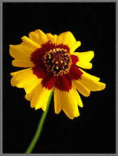 Plains Coreopsis 100+ Seeds Organic Newly Harvested