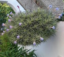 TILLANDSIA BERGERI -  Clumping hanging species. Blue flowers - Quality plants