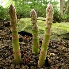 100+ MARY WASHINGTON ASPARAGUS SEEDS Organic Non-GMO U.S.Grown Seed