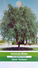 4'-5' live CORKSCREW WILLOW Tree Plants Trees Healthy Hardy Plant Easy to Grow
