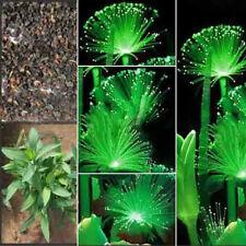Rare Emerald Fluorescent Flower Seeds Unique Night Light Emitting Plants Bonsai