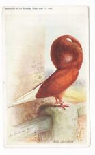 PIGEON RED JACOBIN FEATHERED WORLD 1908 - No.11 - Artist Drawn Postcard Size