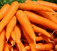 TENDERSWEET CARROT SEEDS 1000+ vegetable GARDEN culinary SOUPS FREE SHIPPING