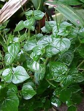 100 seed peperomia pellucida Pansit-pansitan shiny bush Peperomia pellucida