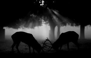 Framed Print - Stags in the Rut (Picture Reindeer deer Elk deer Moose Animal)