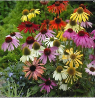 25+seeds/pack ECHINACEA LUSTRE MIX/ CONE-FLOWER FLOWER SEEDS PERENNIAL