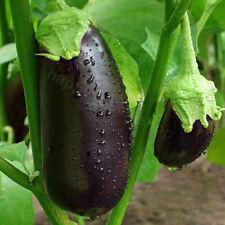 AUBERGINE BLACK BEAUTY - 600 SEEDS - EGG PLANT - VEGETABLE SEEDS - Large fruits
