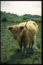 485016 Highland Cattle Scotland A4 Photo Print