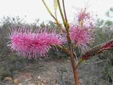 'PINK POKERS',Rare,Grevillea petrophiloides,Bush tucker,Native,Ornamental