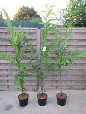 Esskastanie - Marone - Castanea sativa - Winterharte Pflanze 160-180cm