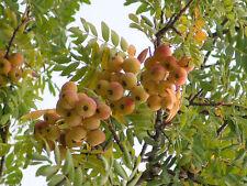 """7 SEMI di Sorbus Domestica """"Sorbus domestica L. """"Bonsai"""