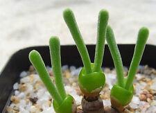 100 Rare Cactus Succulent MONILARIA moniliforme seeds Living Stones Plant Flower