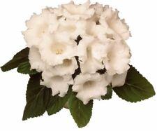 Gloxinia Seeds White F1 room flowers Ukraine 5 pelleted seeds