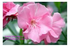 Oleander - Rare Apple Blossom Pink - 50 seeds Buy 1 Get 1 FREE + FREE Shipping