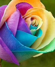 RAINBOW ROSE FLOWER SEEDS - COLORFUL -