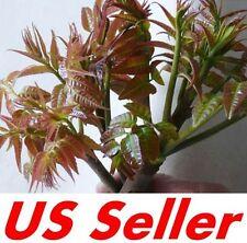 60 PCS Red Oil Toona Sinensis Roem Seeds E36, Home Garden Vegetable Seed